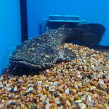 Apure Jelly Catfish (Cephalosilurus apurensis)
