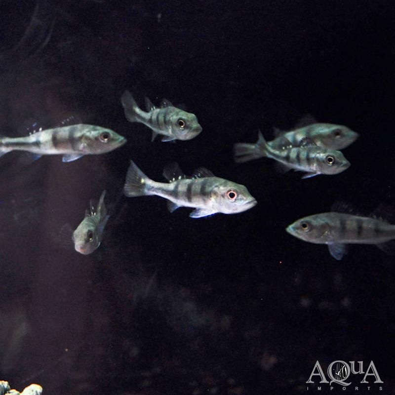 Kelberi Peacock Bass (Cichla kelberi)