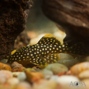 L018 Big Spot Gold Nugget Pleco (Baryancistrus xanthellus)