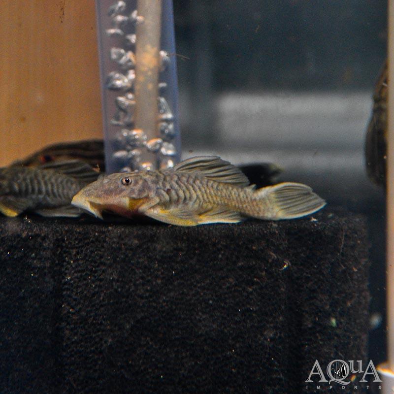 L056 Chubby Pleco (Parancistrus aurantiacus)