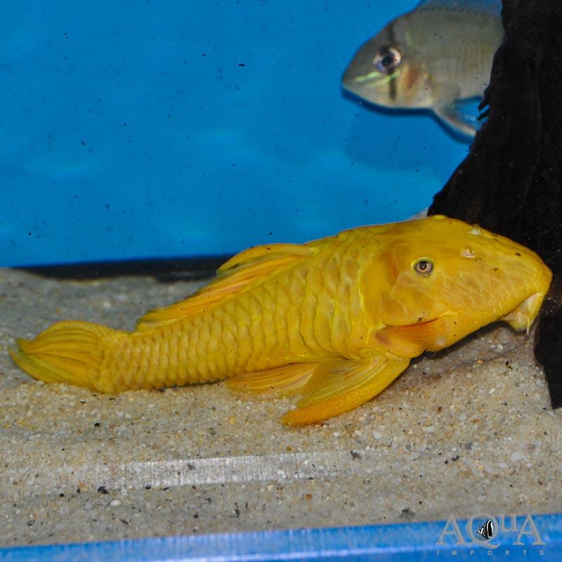 "L056 Yellow Chubby Pleco (Parancistrus aurantiacus ""yellow"")"