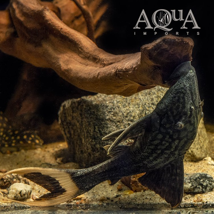 L090c 'Ojo Chico' Papa Lyretail Pleco (Panaque bathyphilus)