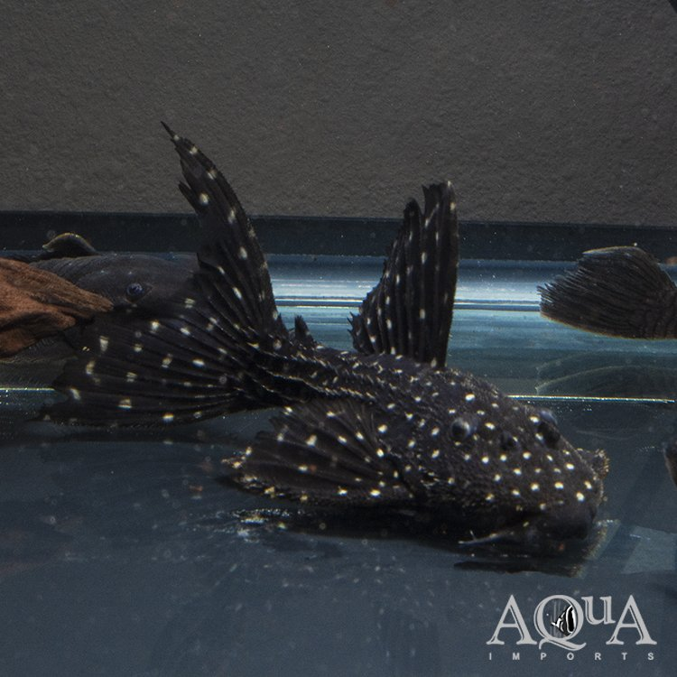 L097 Polka Dot Cactus Pleco (Pseudacanthicus sp. L097)