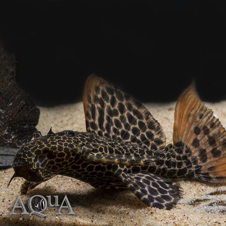 L114 Leopard Cactus Pleco (Pseudacanthicus cf. leopardus)