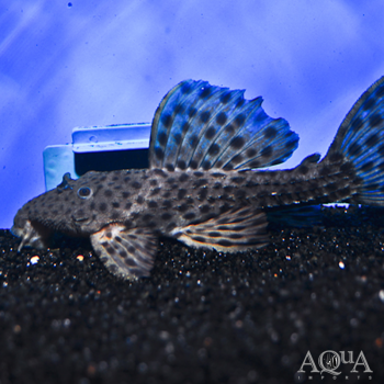 L160 Spiny Monster Pleco (Pseudacanthicus spinosus)