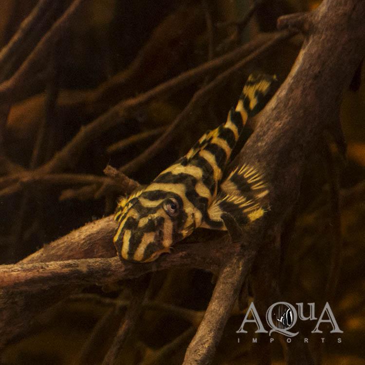 L052 Atabapo Butterfly Pleco (Dekeyseria picta)
