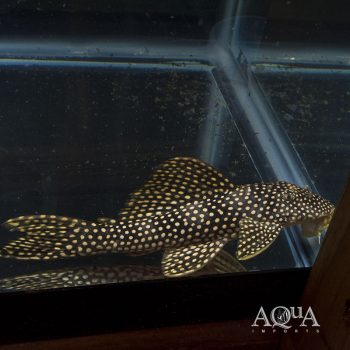 L253 Black Royal Goldie Pleco (Scobinancistrus sp. L253)