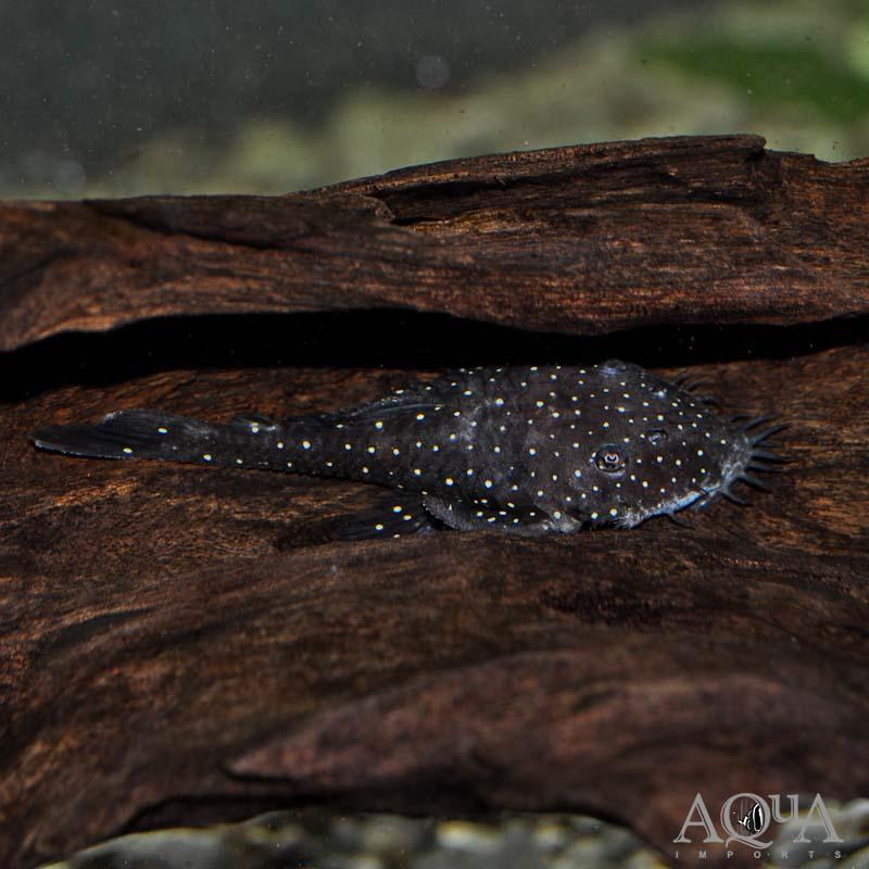 L255 Spotted Medusa Pleco (Ancistrus sp.)