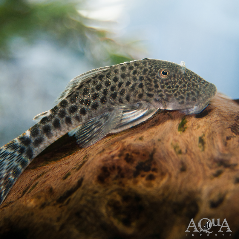 L445 Spotted Rubber Pleco (Chaetostoma sp.)