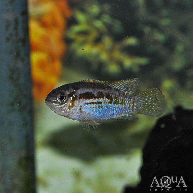 Araguaia Dwarf Acara (Laetacara araguaiae)