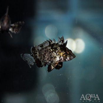 Leaf Goblinfish (Neovespicula depressifrons)