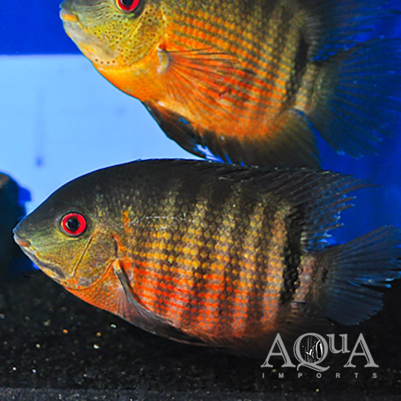 Red Moothbrooder Severum (Heros liberifer)