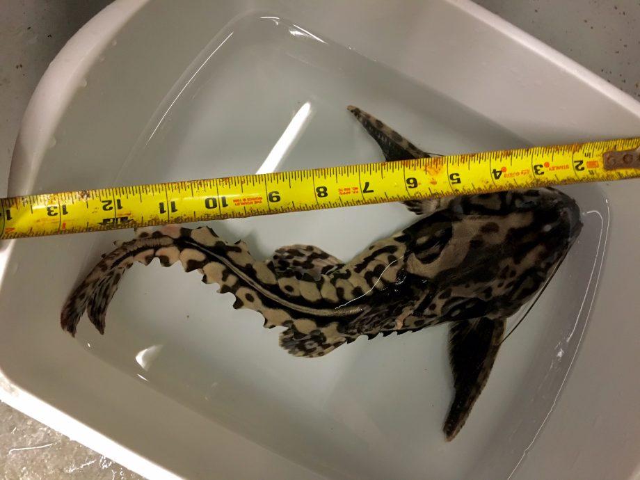 Tocantins '24K gold' Giant Talking Catfish (Megalodoras cf. uranoscopus)
