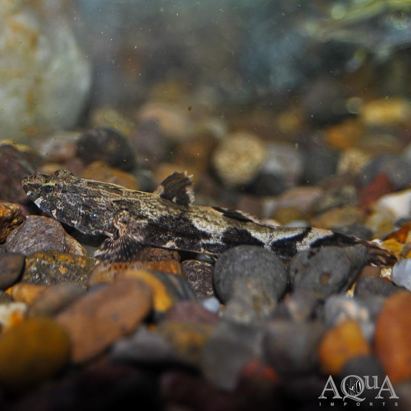 Marble Sleeper Goby (Oxyeleotris marmorata)