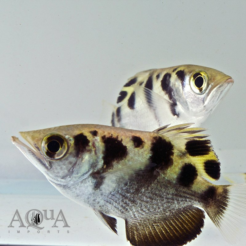 Freshwater Small-Scaled Archerfish (Toxotes microlepis)