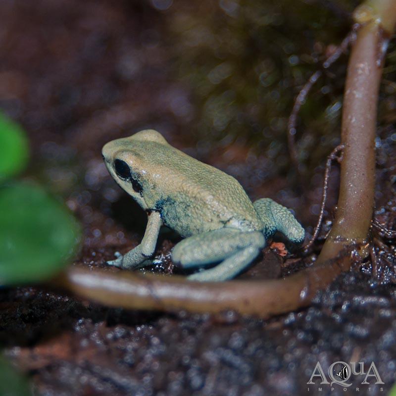 Mint Terribilis Dart Frog (Phyllobates terribilis 'Mint')