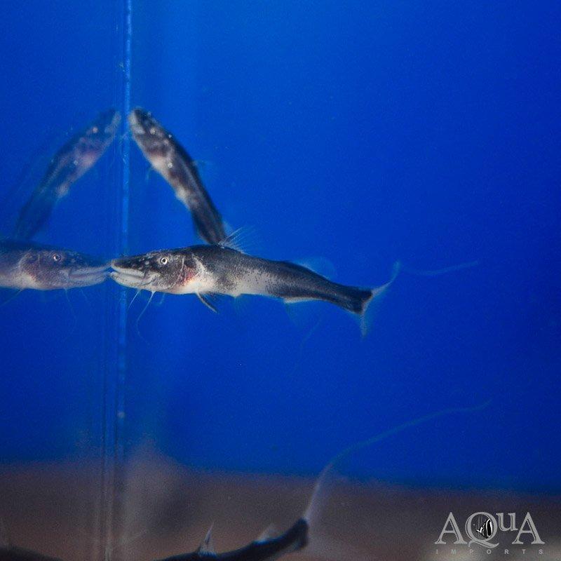 Nanay Dorado Catfish (Brachyplatystoma rousseauxii)