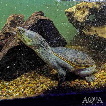 Narrow Bridged Musk Turtle (Claudius angustatus)