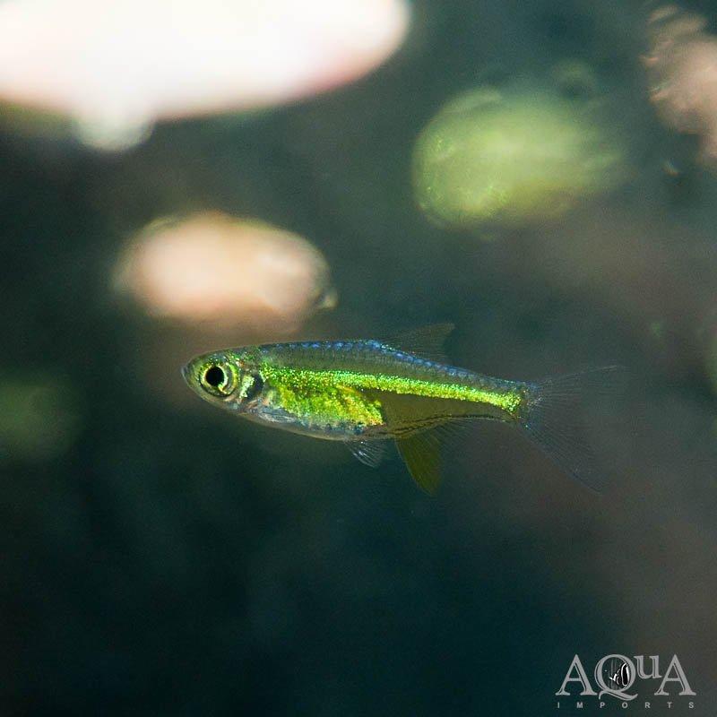 Neon Green / Kubotai Rasbora (Microdevario kubotai) - Group of 5 Fish