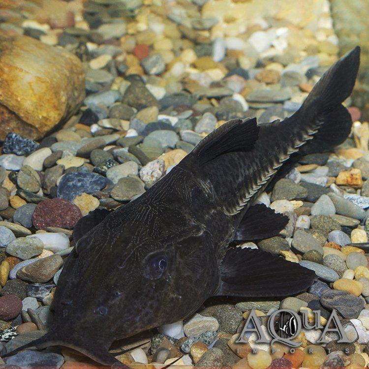 Ripsaw / Niger Catfish (Oxydoras niger)