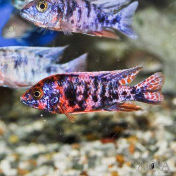 African Cichlids Aqua Imports Online Store