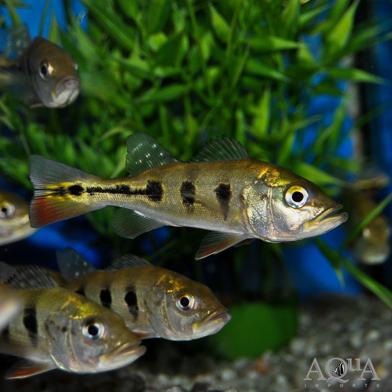 Ocellaris Peacock Bass (Cichla ocellaris)