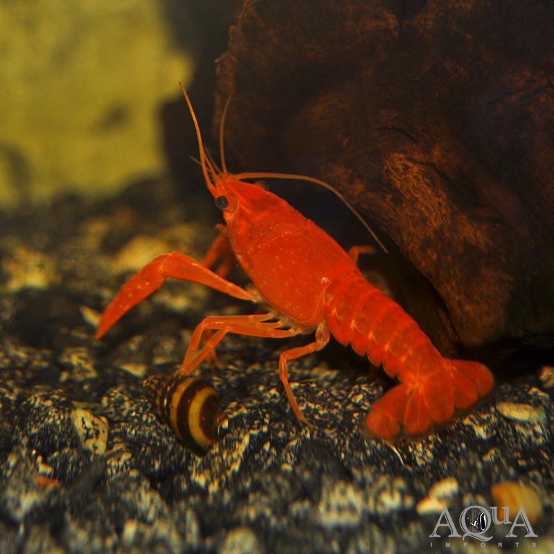 Orange Crayfish (Procambarus alleni)