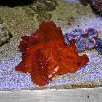 Orange Eschmeyer's Scorpionfish (Rhinopias eschmeyeri)