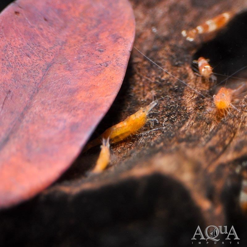 Orange Shrimp (Caridina cf. propinqua)