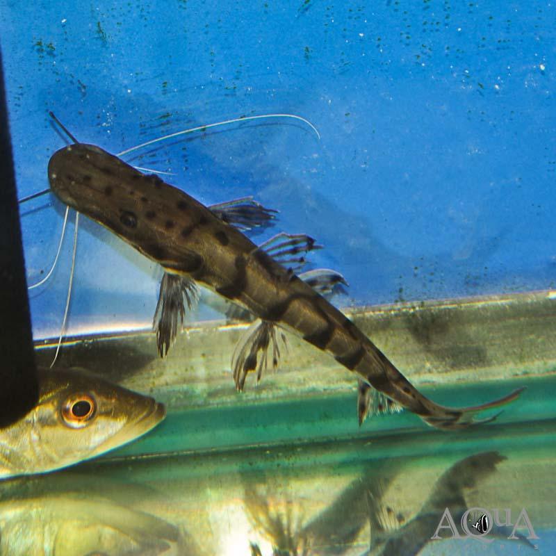 Orinoco Shovelnose Catfish (Pseudoplatystoma orinocense)