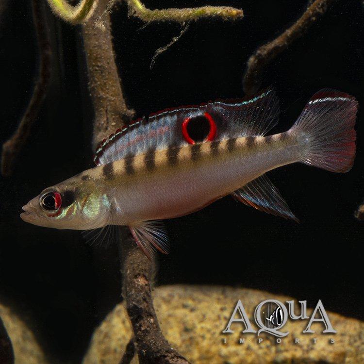 Orinoco Dwarf Pike Cichlid (Crenicichla sp. 'Orinoco dwarf')