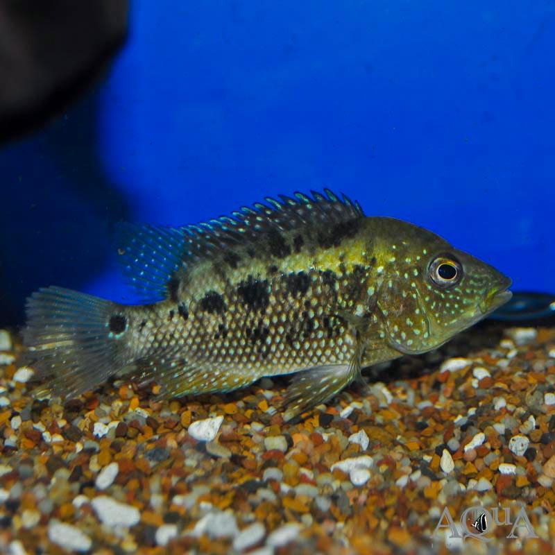 Ornatus Cichlid (Mesoheros cf. ornatus)