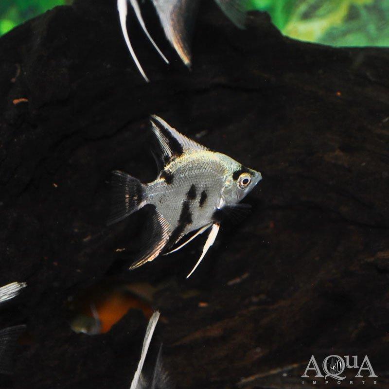 Panda Angelfish (Pterophyllum scalare)