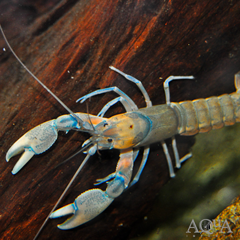 Papuan Orange Crayfish (Cherax holthuisi 'orange')