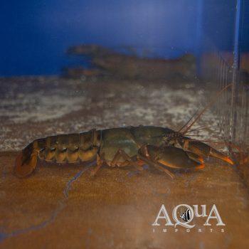 Papuan Extreme Orange Crayfish (Cherax cf. holthuisi)