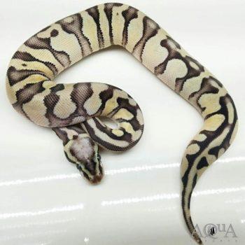 Male Pastel Enchi Russo Het Leucistic Ball Python