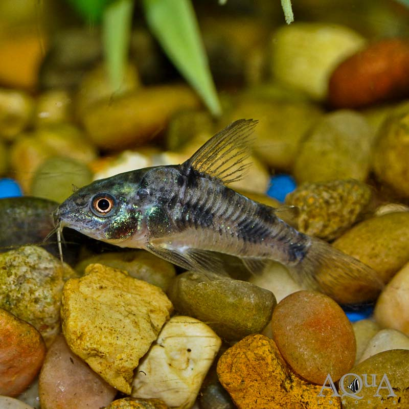 Peppered Cory (Corydoras paleatus) - Group of 5 Fish