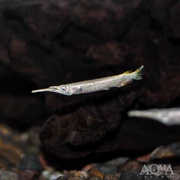 Wrestling Halfbeak (Dermogenys pusilla) - Group of 5 Fish