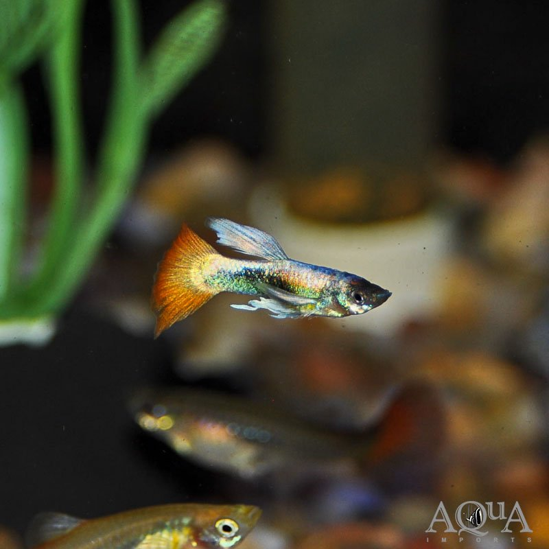 Assorted Male Fancy Guppy (Poecilia reticulata)