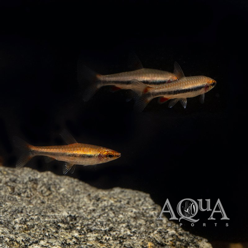 Red Beckford's Pencilfish (Nannostomus beckfordi 'red') - Group of 5 Fish