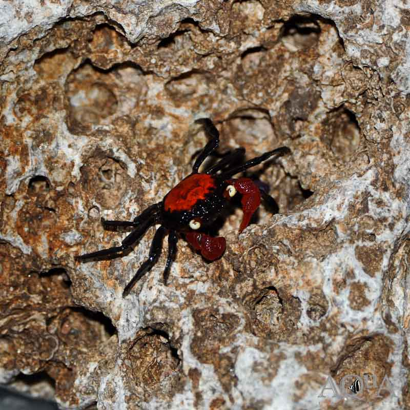 Red Devil Crab (Geosesarma sp.)