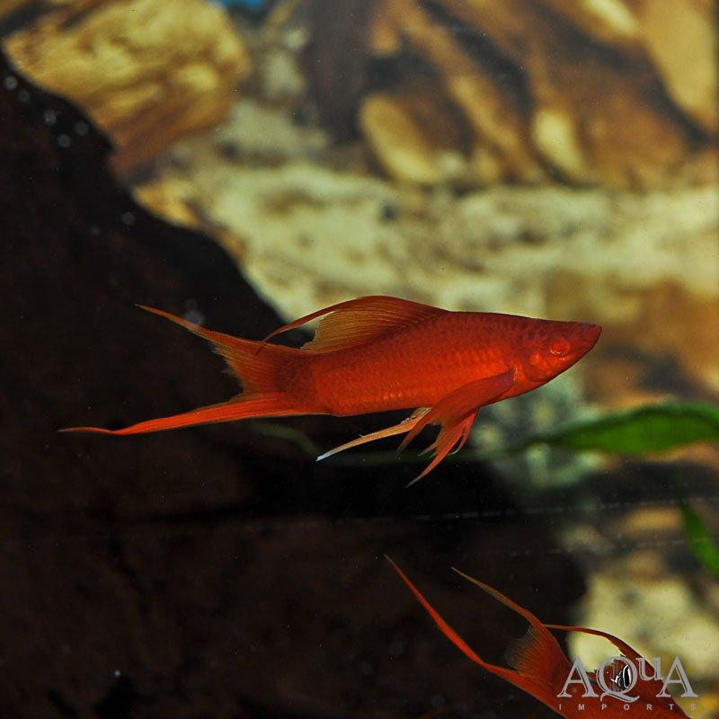 Assorted Swordtail (Xiphophorus helleri)