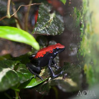 Red Galactonotus (Adelphobates Galactonotus)