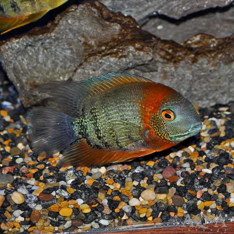 Red Shoulder / Rotkeil Severum (Heros cf. efasciatus)