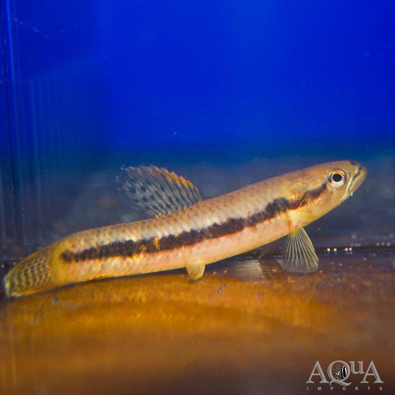 Red Wolf Fish (Erythrinus erythrinus)