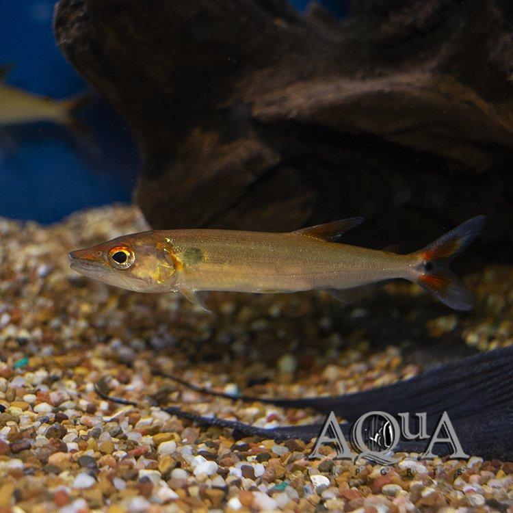 Red Tail Barracuda (Acestrorhynchus falcatus)