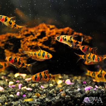 Snakeskin / Rhombo Barb (Desmopuntius rhomboocellatus) - Group of 5 Fish