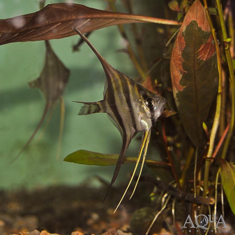 Rio Atabapo Altum Angel (Pterophyllum altum)