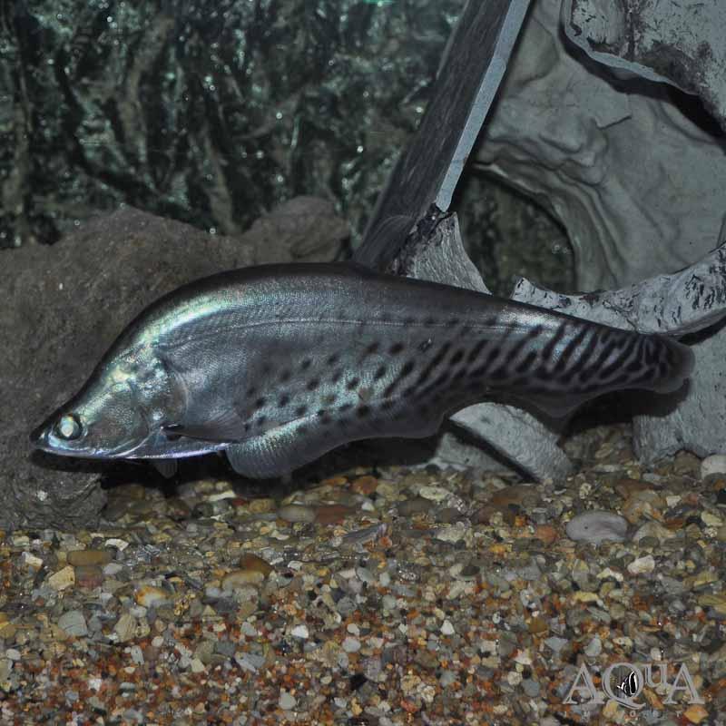 Royal Clown Knifefish (Chitala blanci)