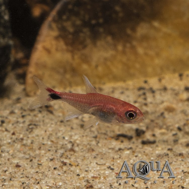 Ruby Tetra (Axelrodia riesei) - Group of 5 Fish